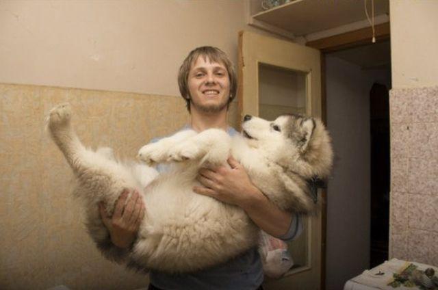 malamute-dog
