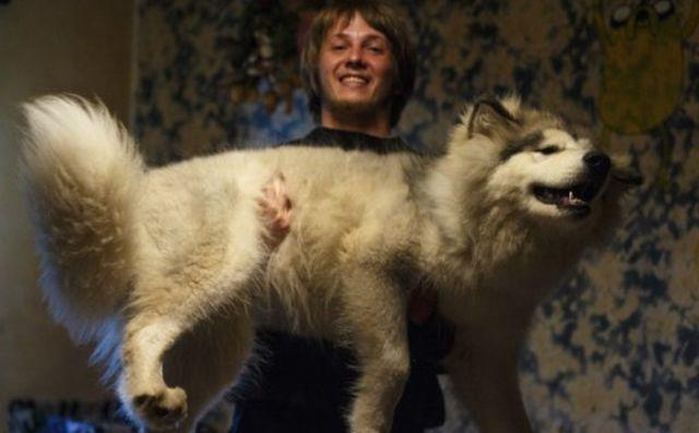 malamute-dog2