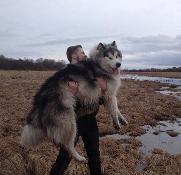 malamute-dog3