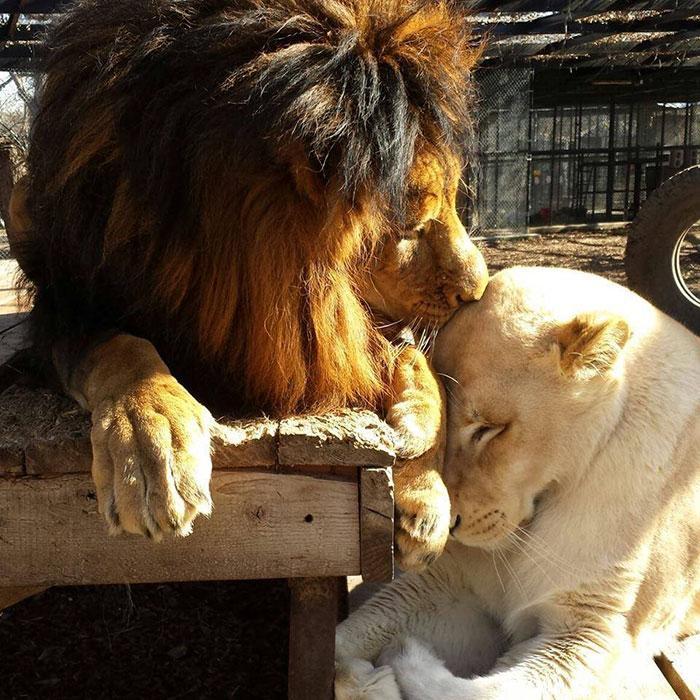 Macintosh HD:private:var:folders:mv:05psg9ts7d59vd89gvfl_1380000gn:T:TemporaryItems:rescue-lions-love-kahn-sheila-in-sync-exotics-18.jpg