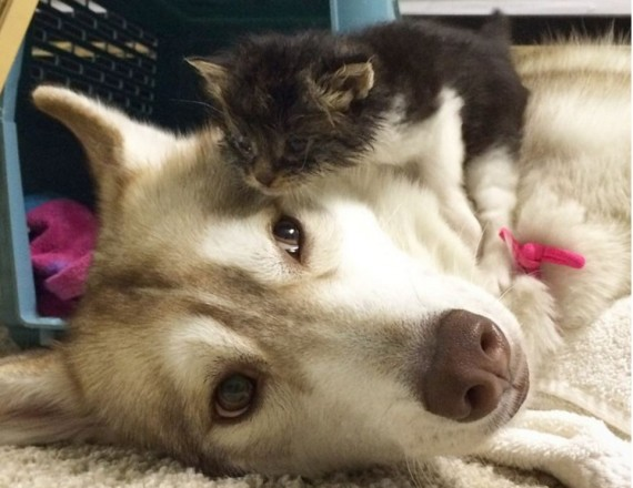 Lilo the Husky took her in. Miraculously, the kitten started eating after a couple hours of cuddling.