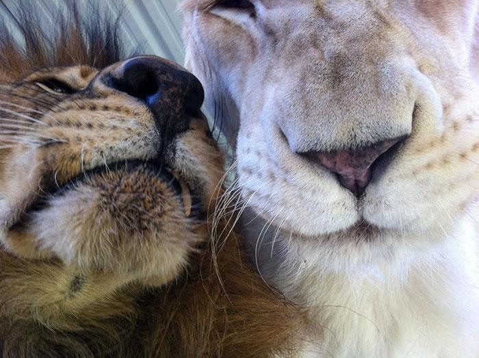Macintosh HD:private:var:folders:mv:05psg9ts7d59vd89gvfl_1380000gn:T:TemporaryItems:rescue-lions-love-kahn-sheila-in-sync-exotics-19.jpg