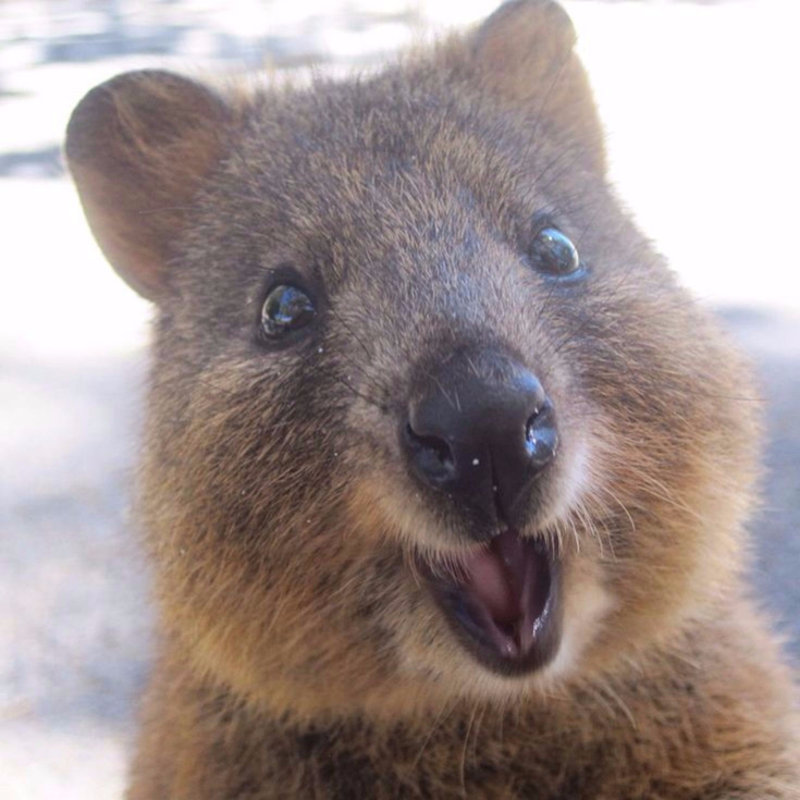 Quokkas Are The Happiest, Most Friendly Animals on The ...