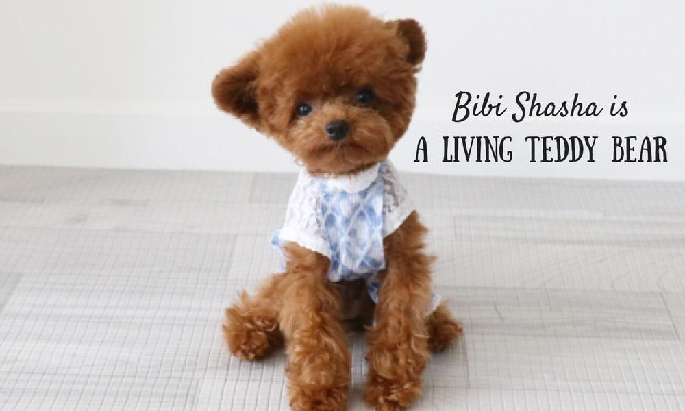 Tiny Dog Named Bibi Shasha is the Most Precious Living Teddy