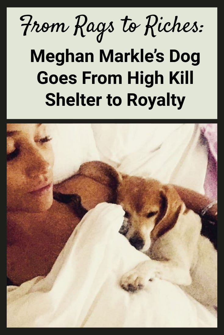 For Meghan Markle, the Duchess of Sussex, her beagle Guy went from a high kill shelter in the U.S., to a Canadian adoption group, to now royalty at Kensington Palace. Read more to see how the newest member of the Royal Family is adapting to the good life!