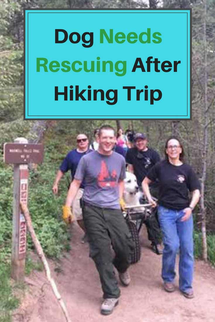 When Kato refused to move despite his family's many attempts, his humans knew it was time to call for some help. Soon enough, a group of volunteers from Evergreen Fire Rescue. They hoisted Kato onto a larger stretcher, and carried him the 1 mile back to the trailhead.