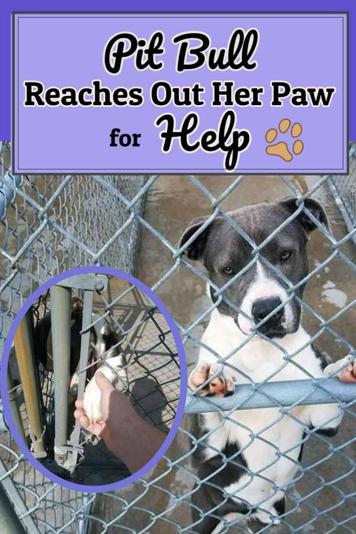 Beautiful Pit Bull reaches her paw out to this human to ask for one last chance to be rescued. #dogs #pitbulls #dogrescues