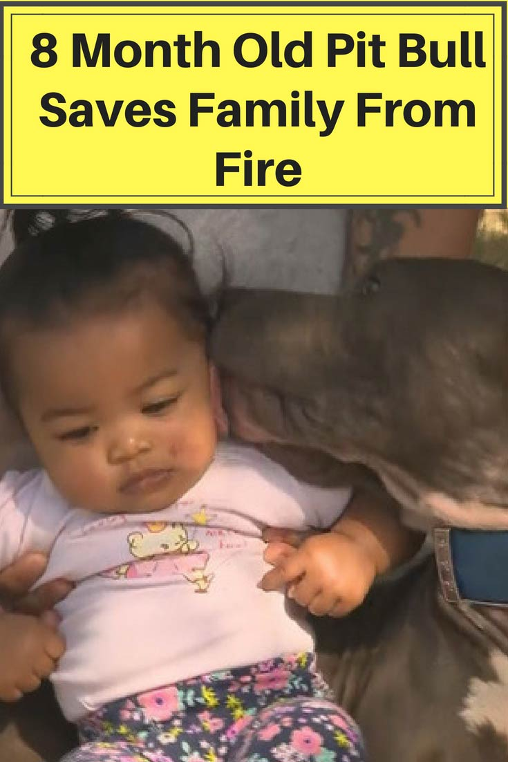Dog rescues baby child from burning house and alerts mom. This baby pit bull can't stop licking her to tell her its going to be ok.