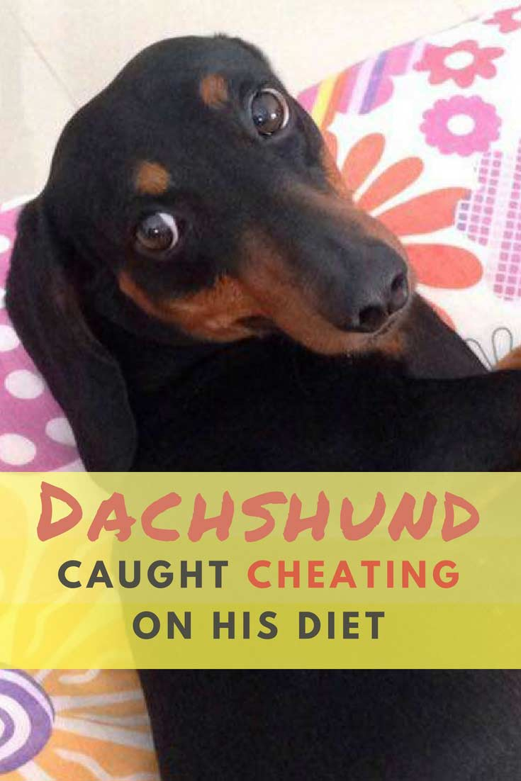 Chito is a Dachshund living with the Cabrera family in Mexico. His family truly cares for him and knows that feeding him a healthy diet is very important. Despite their attempts to keep him at a perfect weight, the family noticed that Chito was becoming chubby. #dogs #doglovers