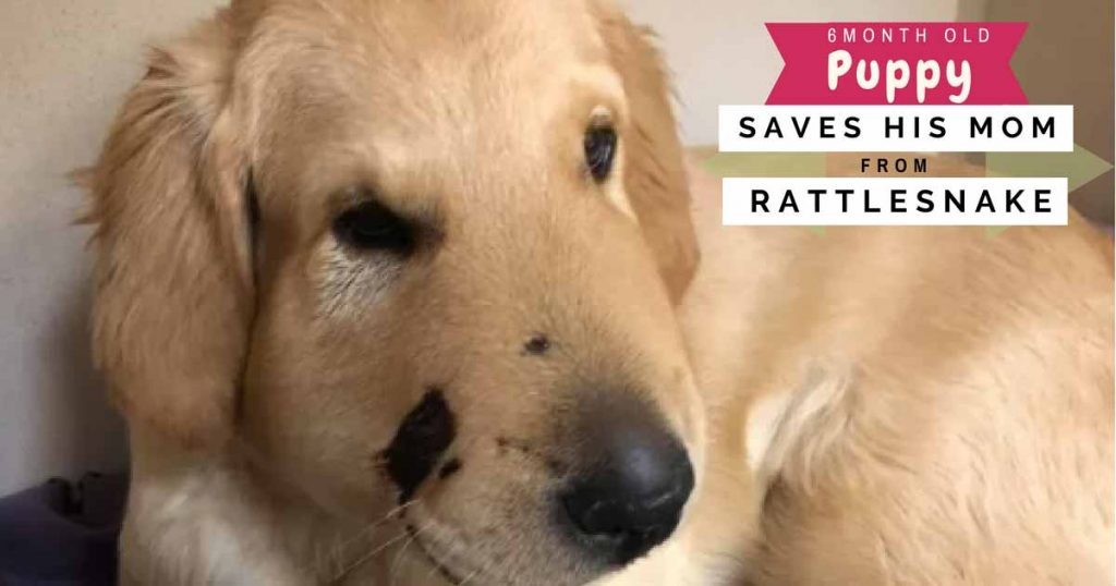 6 Month Old Golden Retriever Puppy Saves His Mom from a