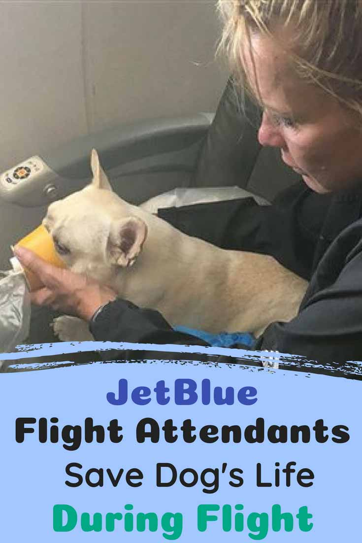 This three-year-old French Bulldog was flying with Jet Blue when they noticed something unusual. They noticed that her gums and tongue were turning blue, a sign that she was not receiving enough oxygen. Then they quickly acted to do something and everyone can't stop talking about these heroes! #dogs #doglovers #dogrescues #animals #amazing