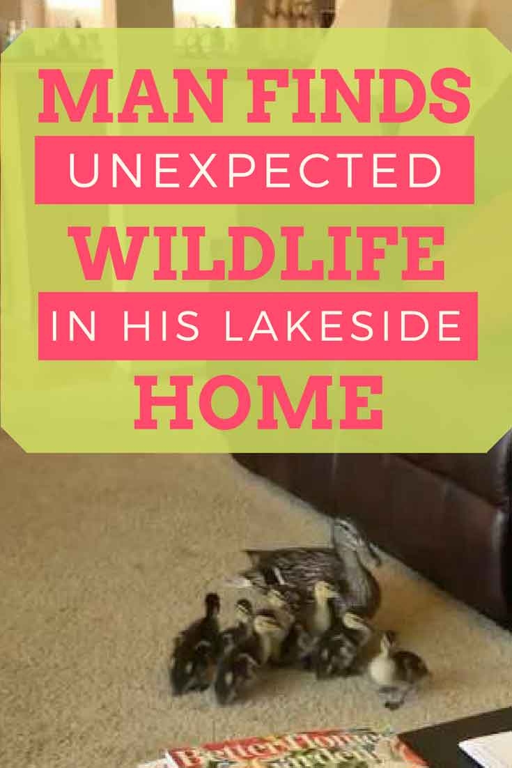 This man found a whole family of wild ducks in his home. Momma duck with her little babies!