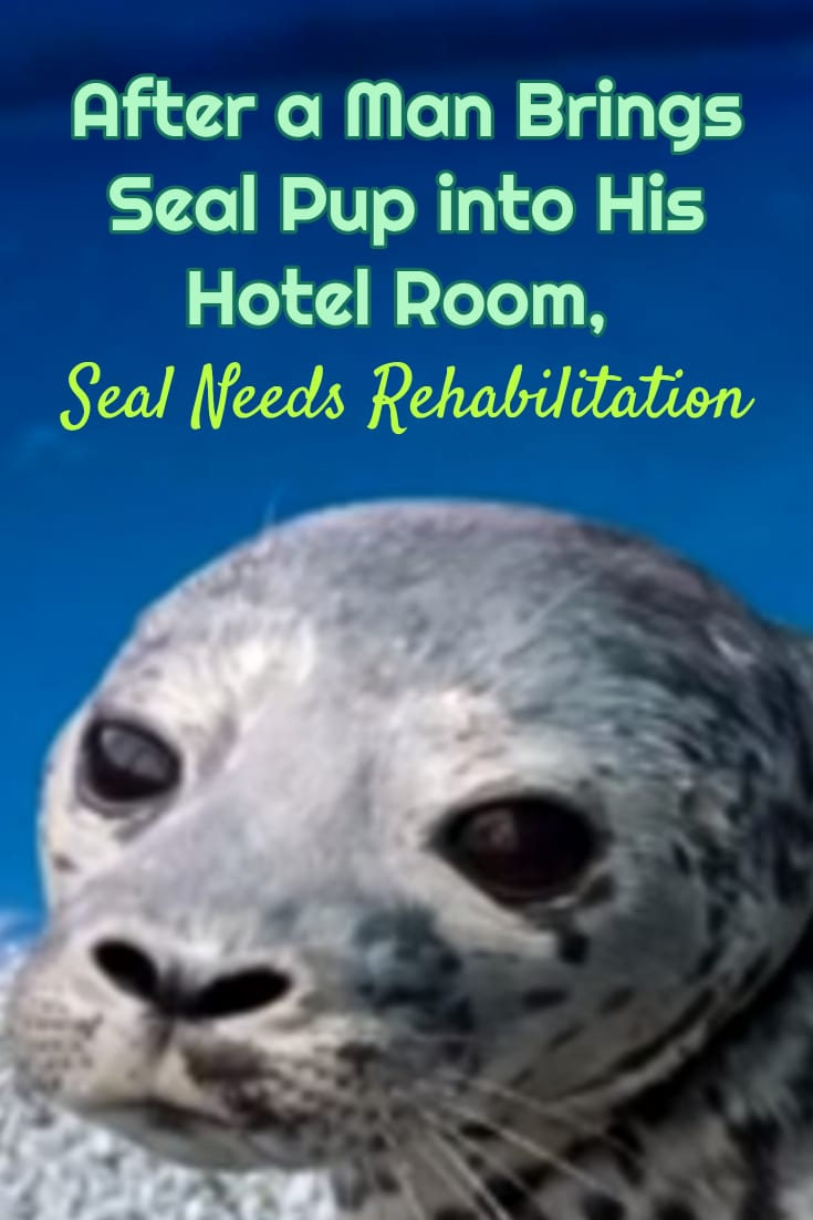 He Found This Injured Seal Pup On The Beach And Brought It Back To His Hotel Room!! While on the beach, a man came across a young seal pup only a few days old. He decided to scoop the little guy up and bring him back to his hotel room. Then he does the right thing to save his life. #animals #wildanimals #seals #animalrescue