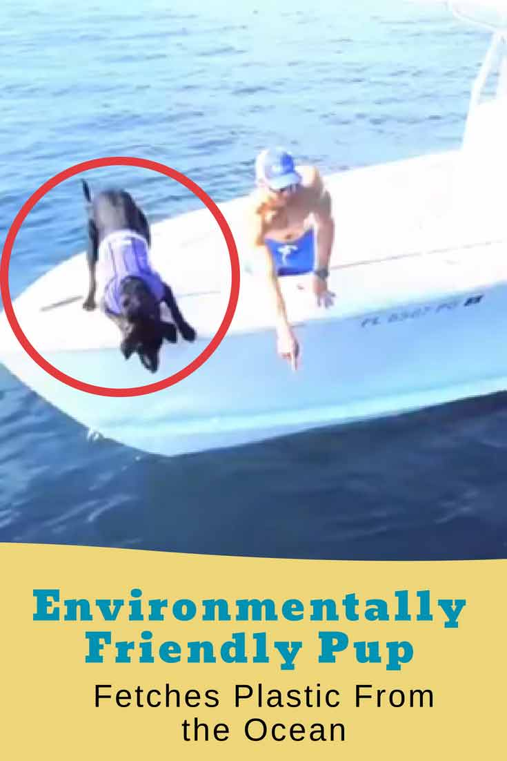 This amazing black Labrador #dog learned to dive into the ocean to fetch lobsters. Now her owner has trained Lila to pick up plastic trash from the ocean to save our waters! Amazing! #dogs #doglovers