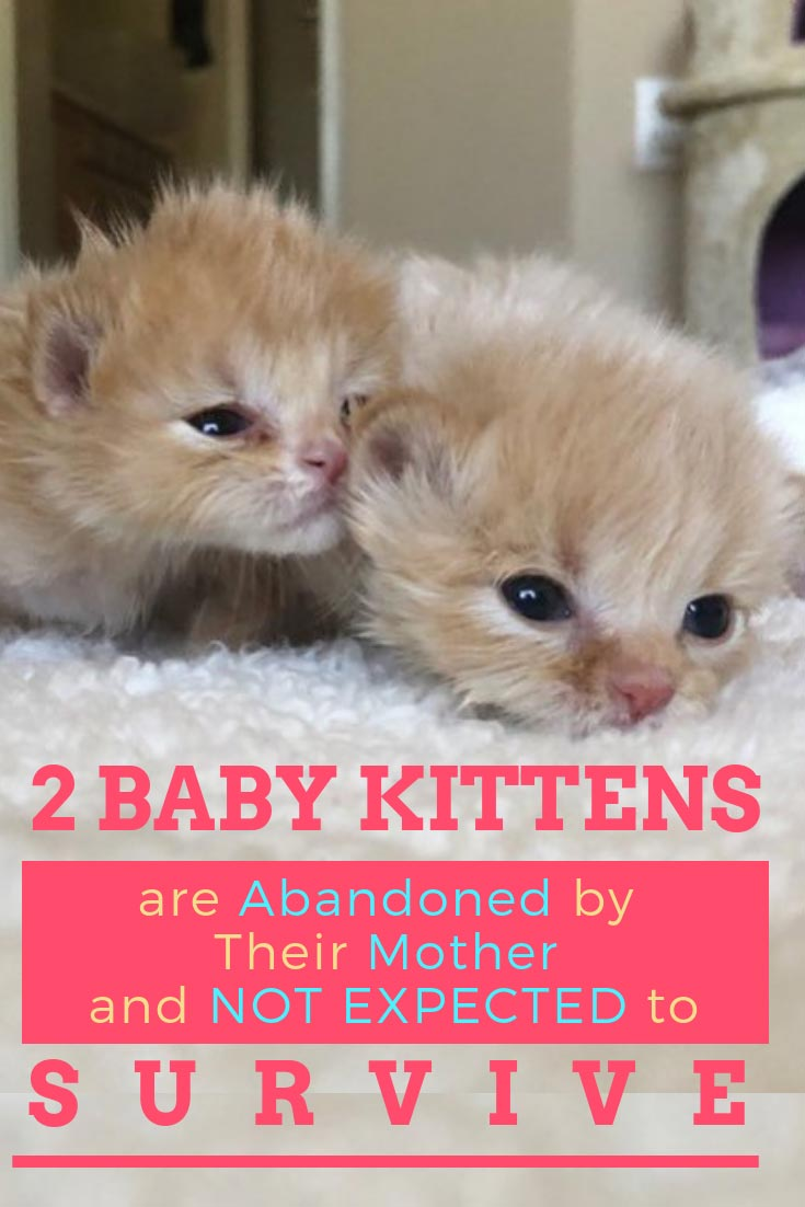 At less than a day old, 5 ginger kitten siblings were found abandoned in Phoenix, Arizona. The odds were stacked high against them and nobody thought they had a chance. This feline disease was once very common but is rare today. But that's not stopping this rescue group! #cats #catrescues #cat #animalrescue
