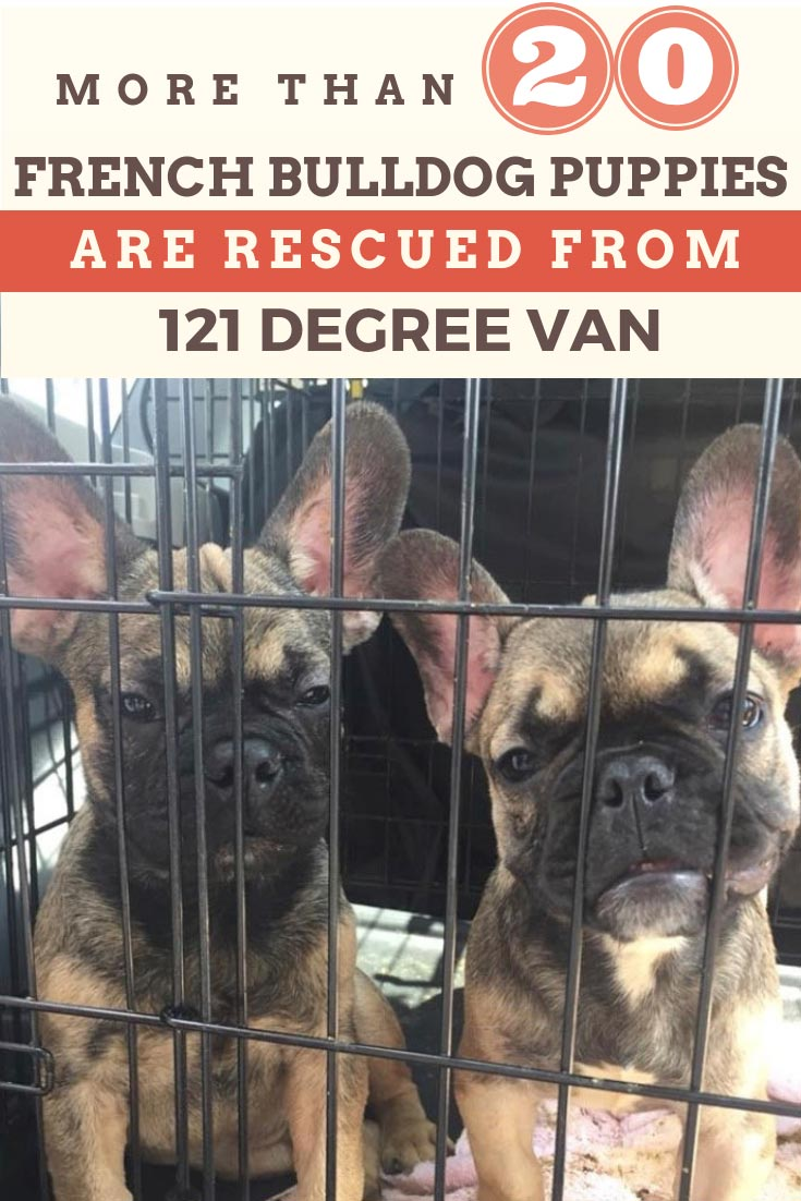These baby french bulldog puppies were found in a van with no air conditioning during a routine traffic stop. They opened the back of the van to find 27 puppies, packed like sardines and exhausted from the heat. The man intended to sell the puppies. This is why only support adopting dogs and not buying them from the black market like this. #dogrescues #dogs #doglovers #animalrescue #animals #frenchbulldogs #bulldogs