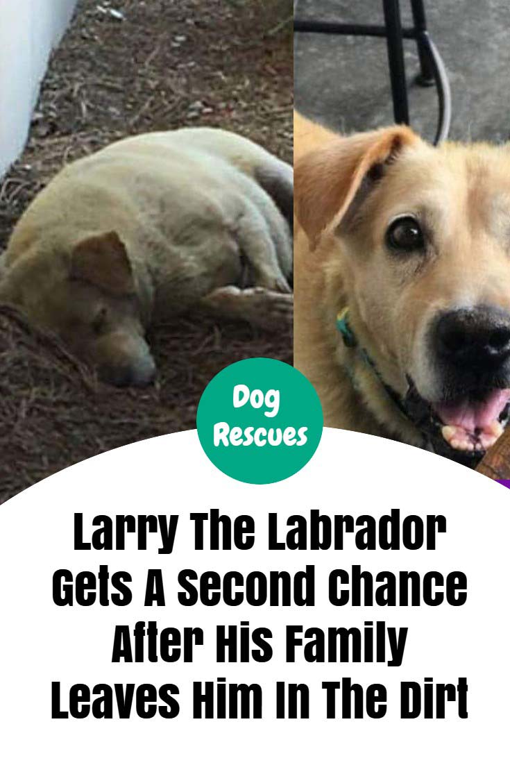 When Larry the Labrador's family moved away and left him behind, he stuck around their family home waiting for them to return. As months passed by, Larry made a little 'home' for himself in the dirt aside a landscaping business across the street from his former family home. #dogs #doglovers #dogrescues #animalrights #animals