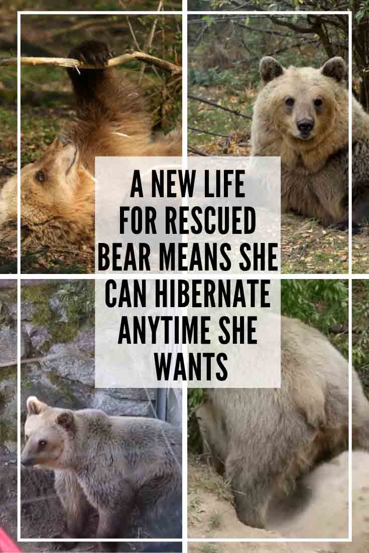 "Poor Luna was sold to an amusement park. ""Luna lived a horrible life at the amusement park in southern Albania for about three years, before we could rescue her in 2016,"" Jeta Lepaja, a spokesperson for the organization that runs Luna's new home, Bear Sanctuary Muritz. And now, she's making up for lost time! This rescue bear enjoys freedom and choices that she never experienced before, thanks to her friendly sanctuary that is located in Germany and supported by Four Paws International."