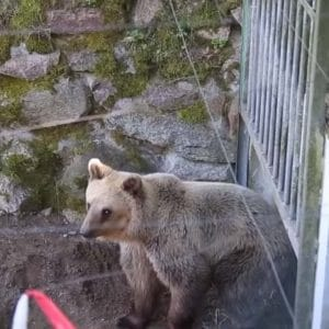 New Life For Rescued Bear